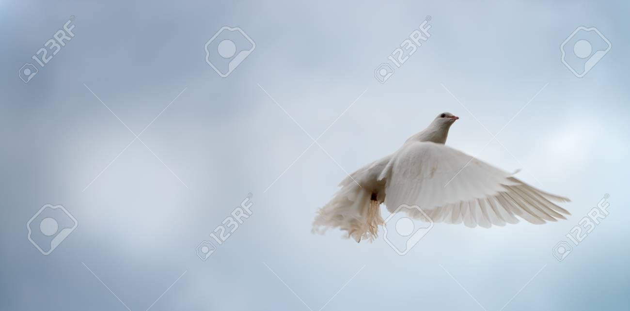 White dove in flight on the blue sky Stock Photo - 14895131