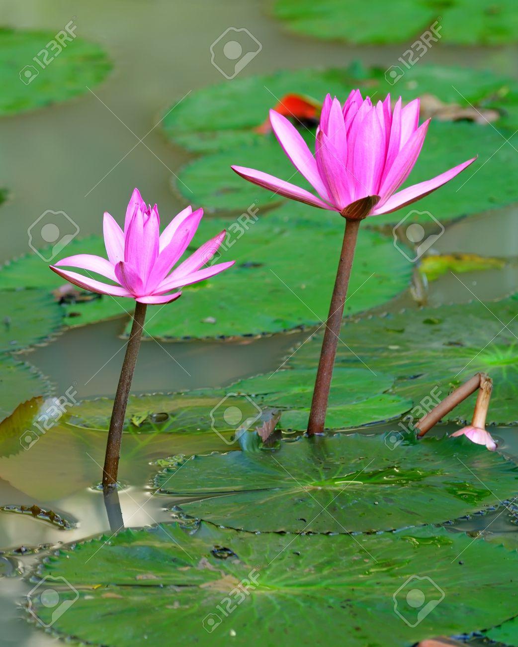 Lotus Flower In Hinduism Gallery Flower Wallpaper Hd