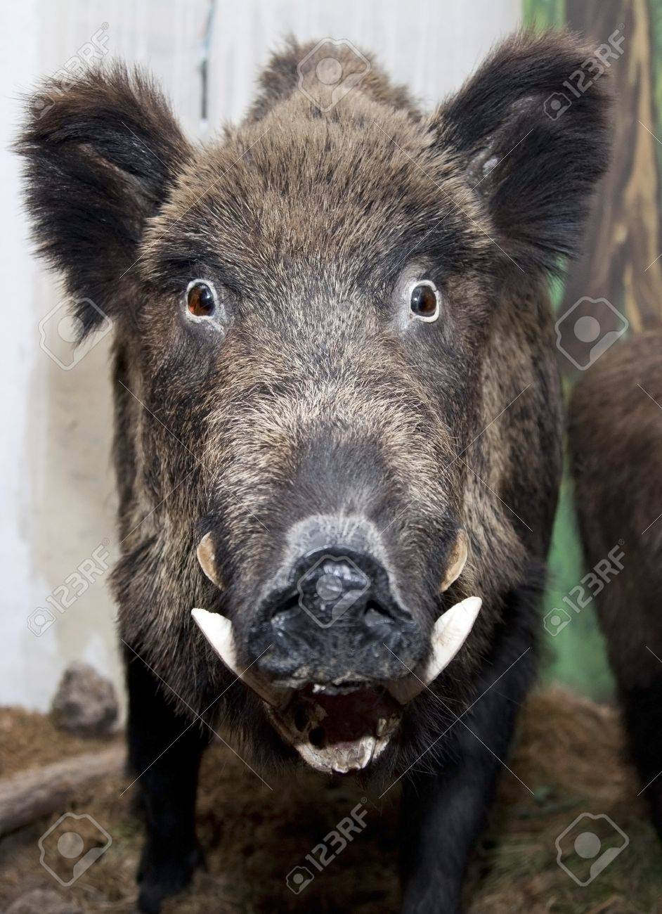 fild boar staring funny at the camera in a museum Stock Photo - 16162279