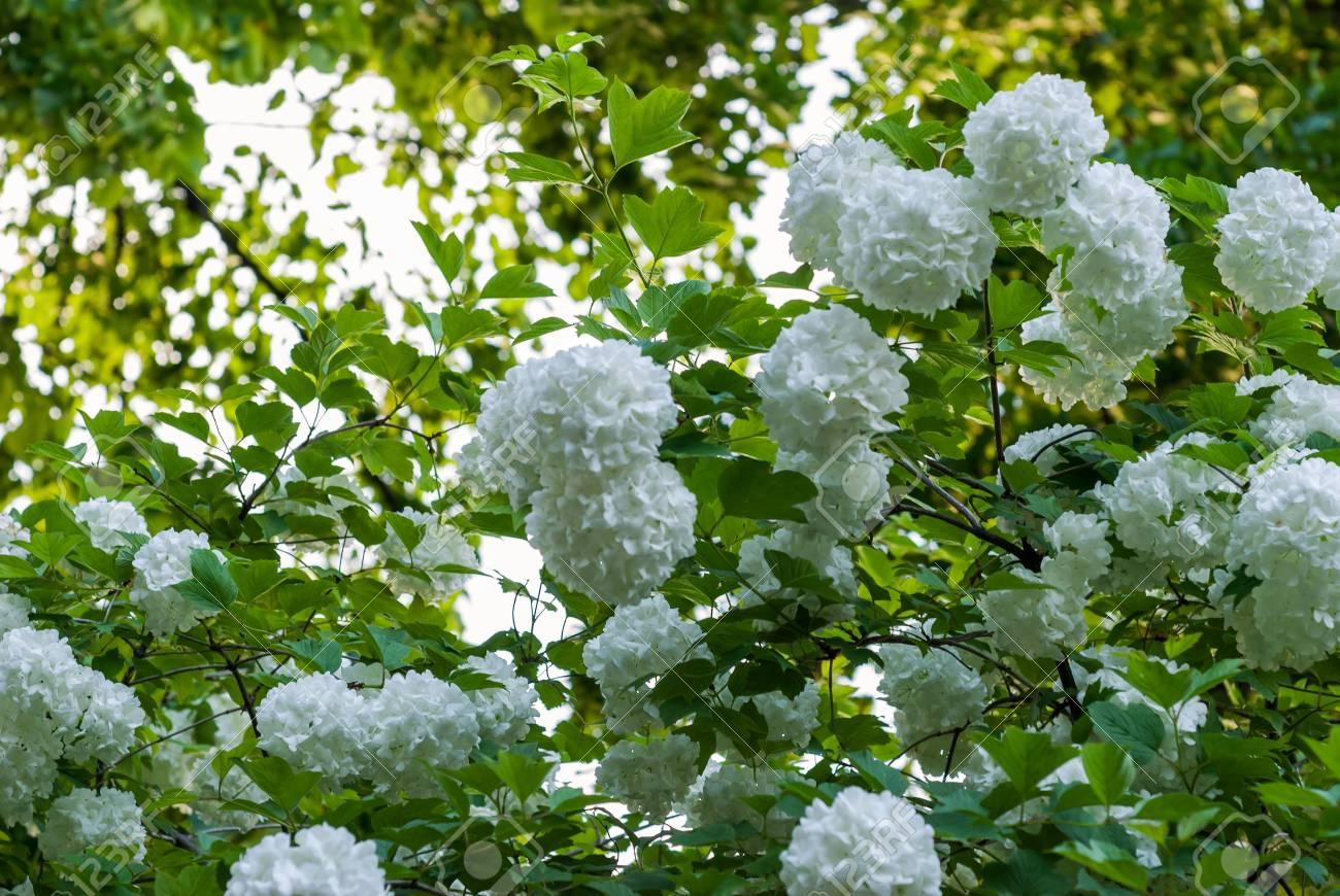 Boule De Neige Floraison Arbre Commun Dans Le Jardin Dété Sous Les