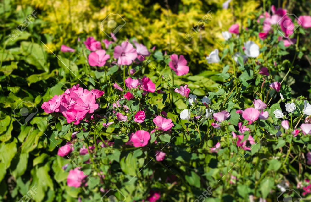 Pink White Flowers In The Garden In The Background The Yellow