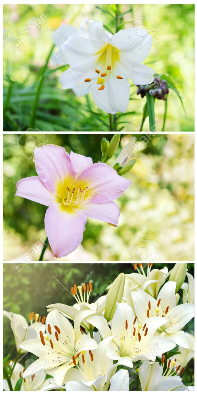 A Collage Of Three Photos With Flowers Of Lilies Collection