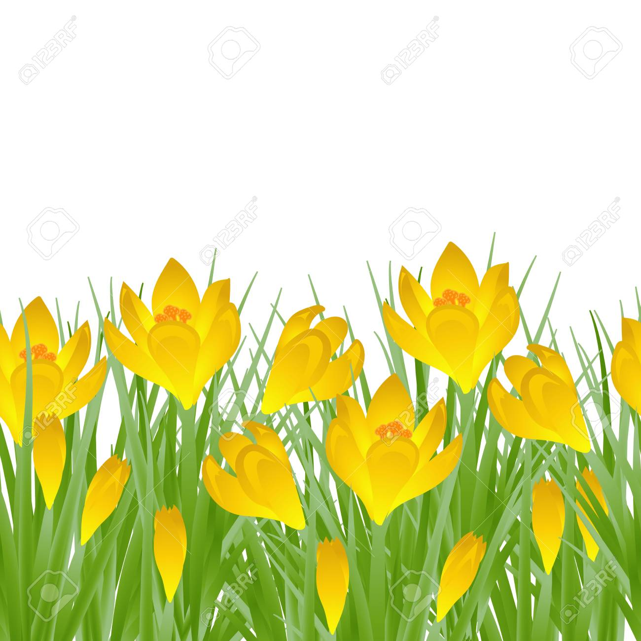 Early Spring Yellow Flower Crocus For Easter On White Background