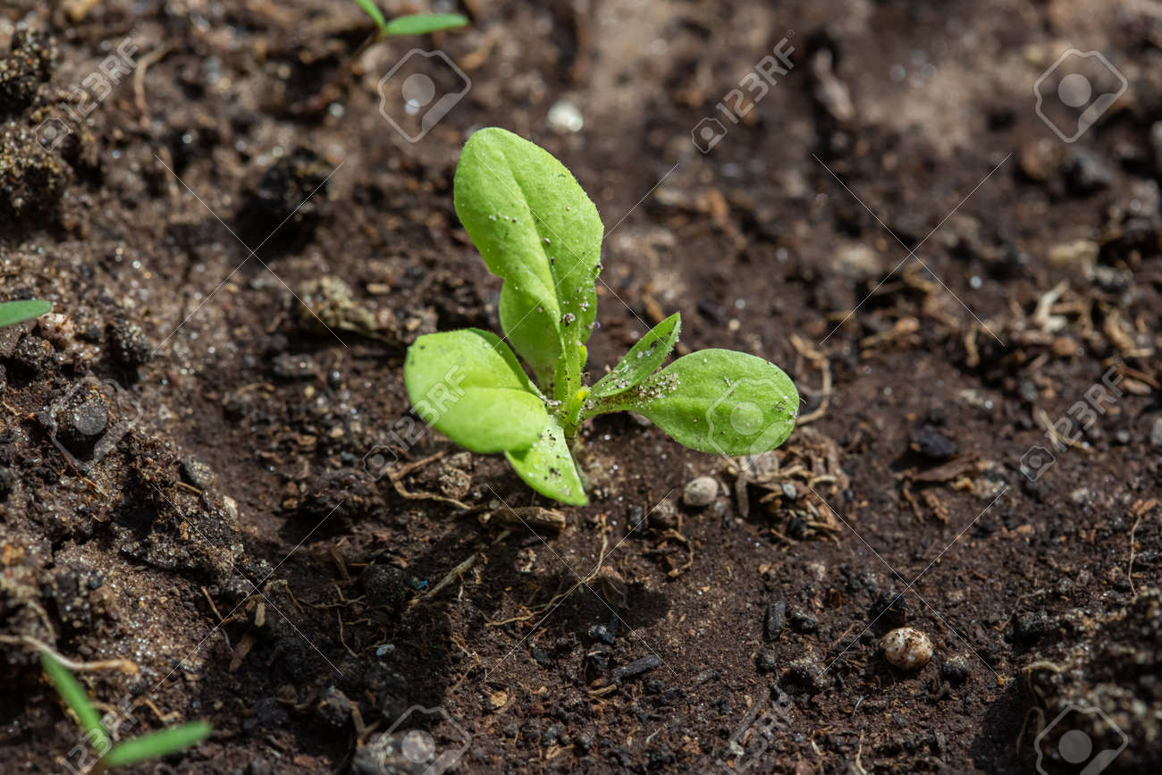 Seedlings of radish and lettuce in a garden bed in a greenhouse, horizontal format - 169031730