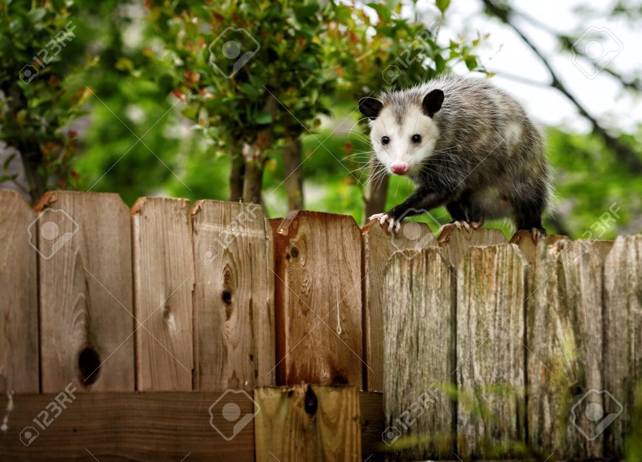 Merveilleux Common Opossum Walking On New Backyard Fence Stock Photo   67594478
