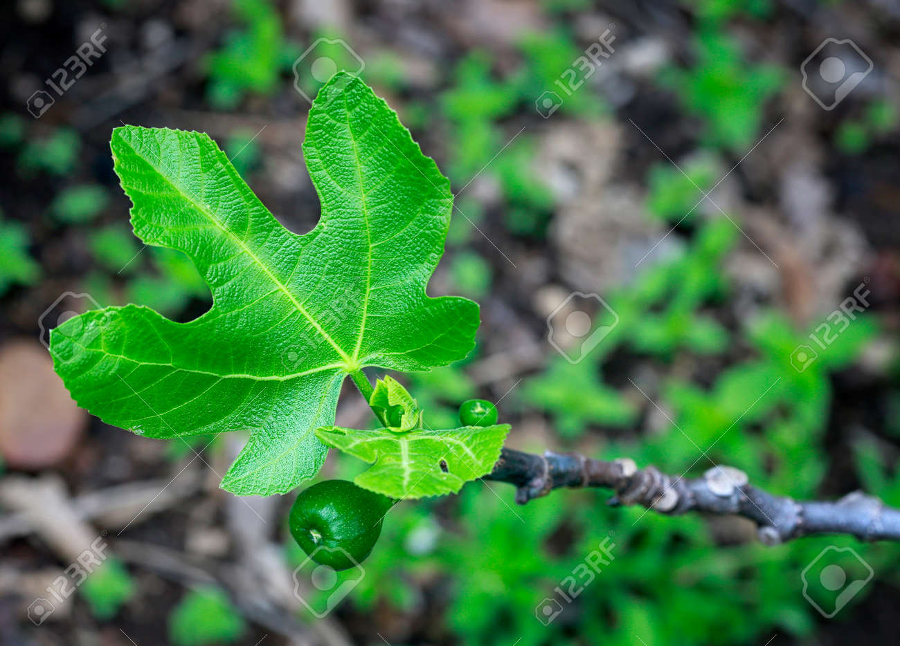 Macro shot of young little figs and new leaves on a branch of old fig tree. - 142581114