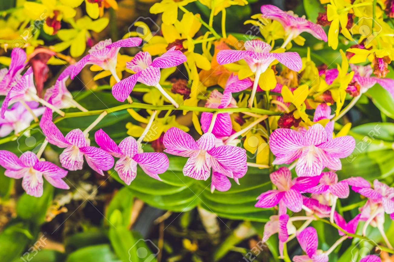 A Beautiful Purple And Pink Orchids Flower On A Branch Hanging