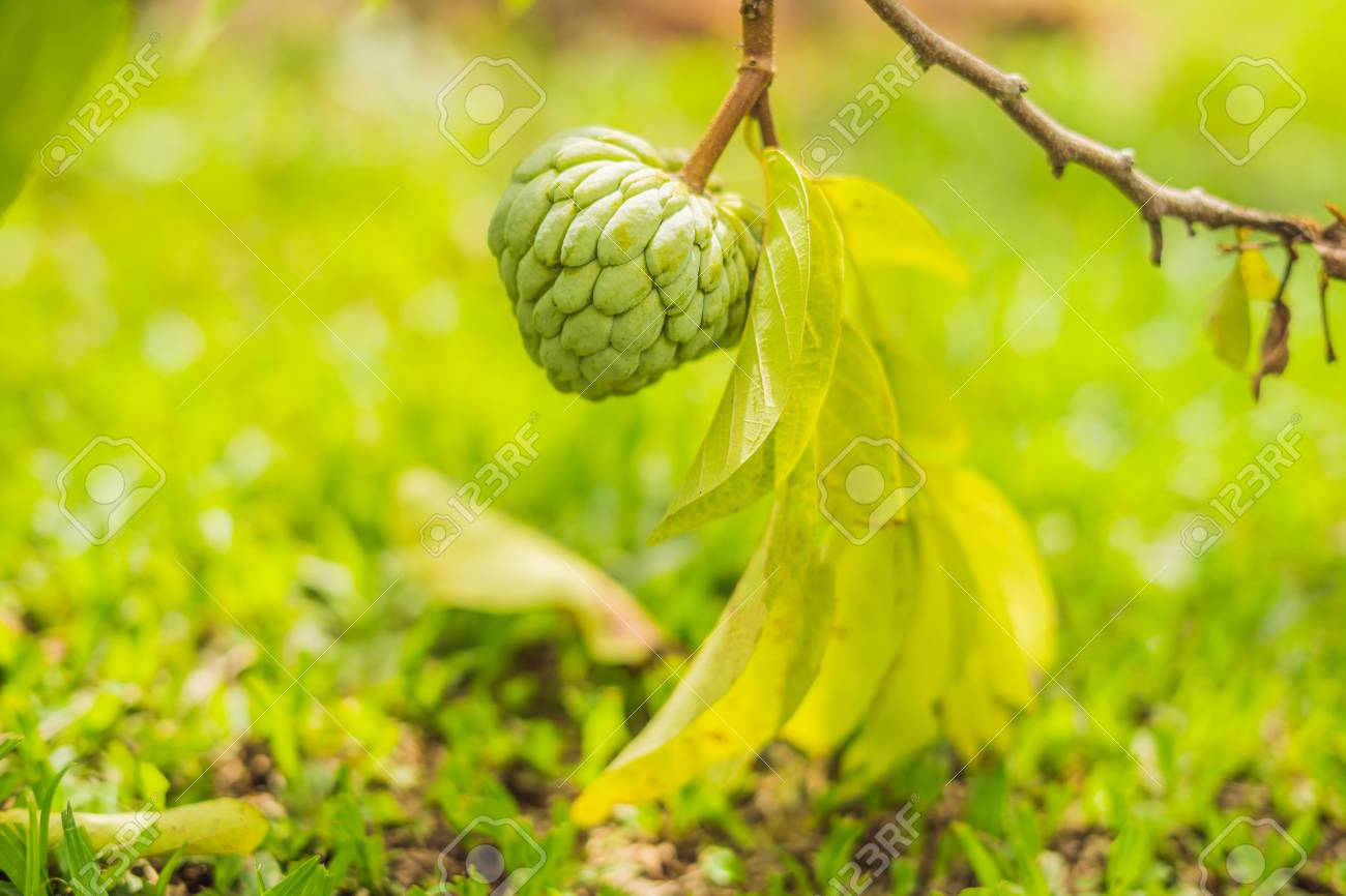 Custard Apple Tree Pictures