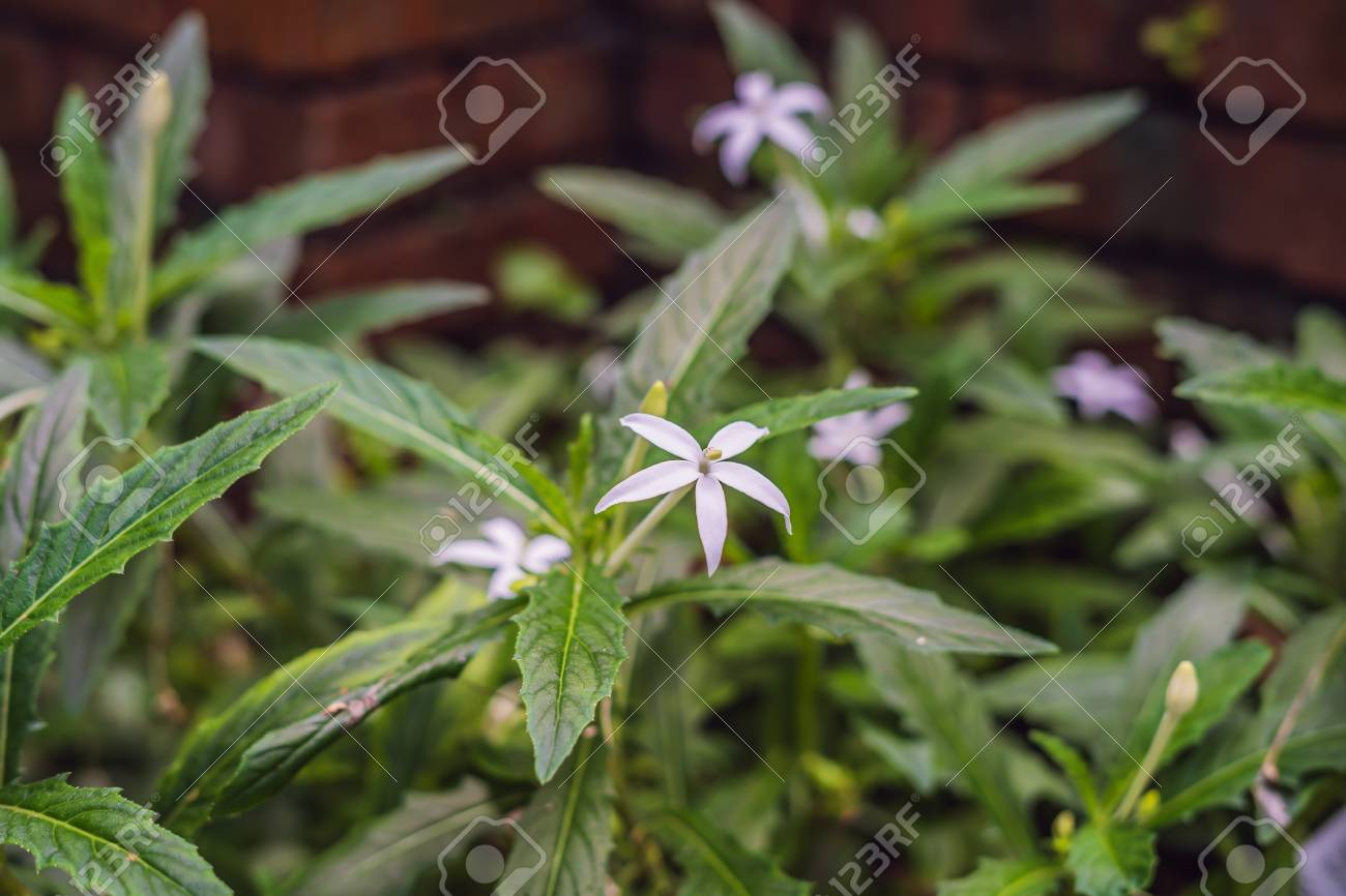 Star Of Bethlehem Plant In Malaysia Penang