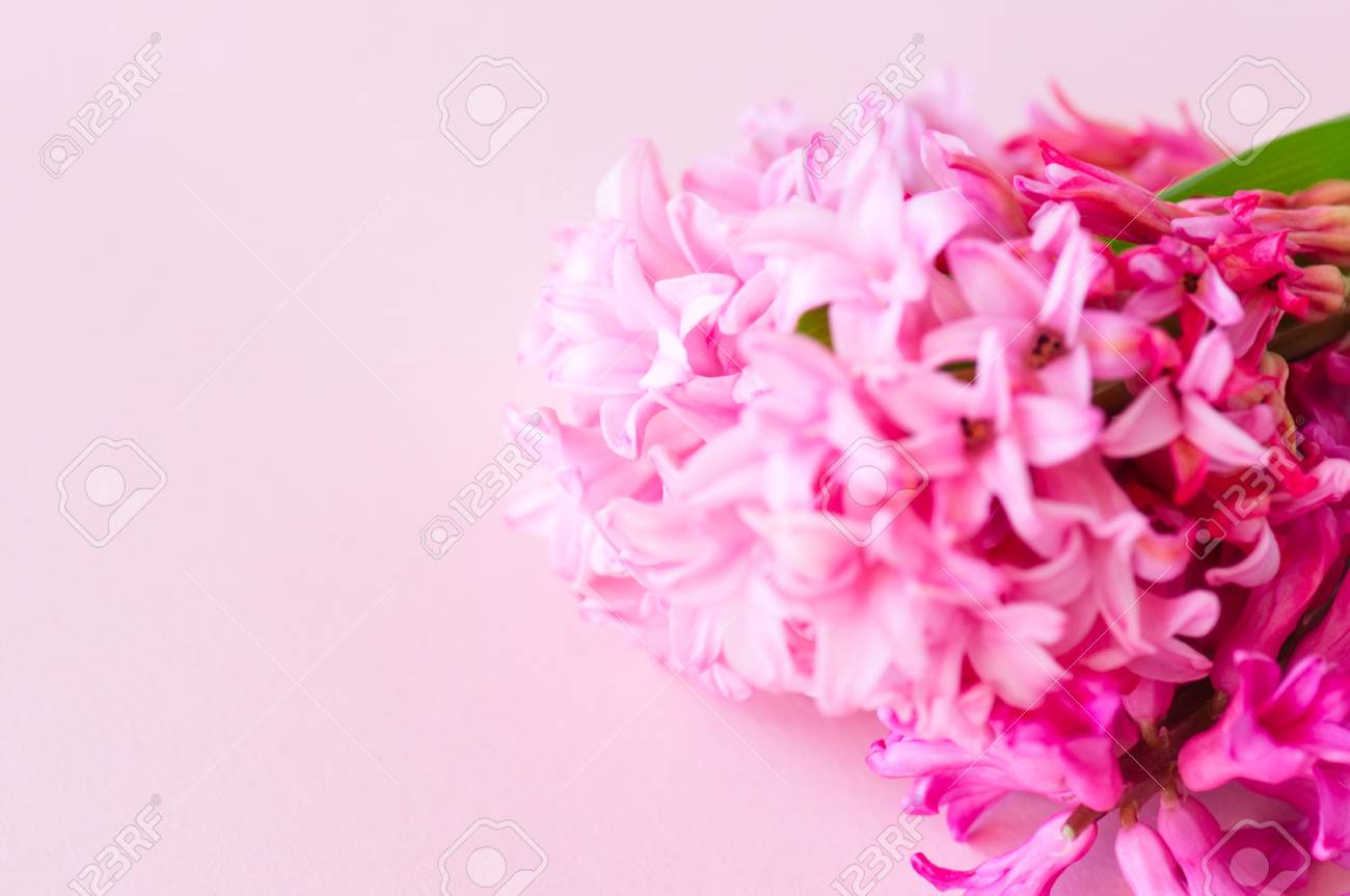 Pink Hyacinth Flowers Bouquet On A Pink Background. Selective ...