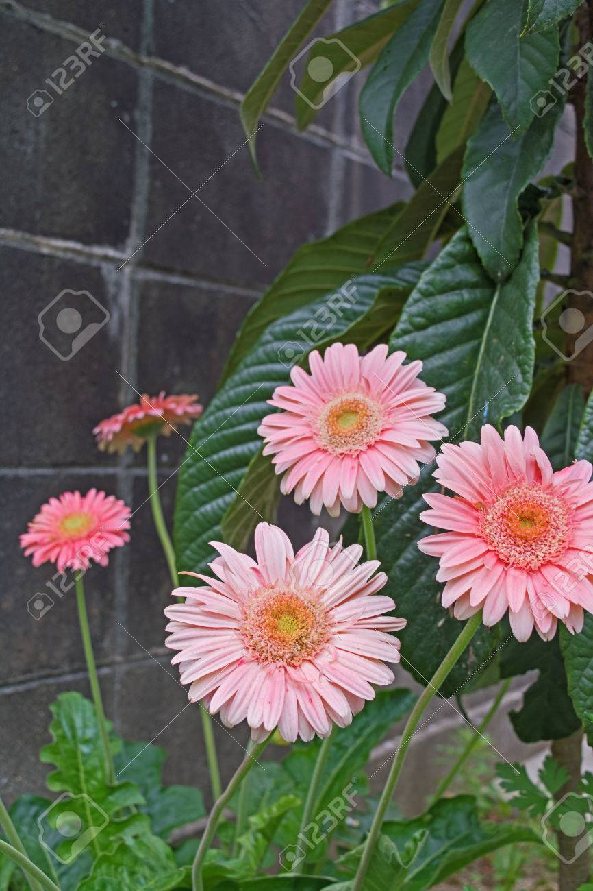 Pink gerbera daisies in a flower pot in the garden stock photo pink gerbera daisies in a flower pot in the garden stock photo 58985399 izmirmasajfo