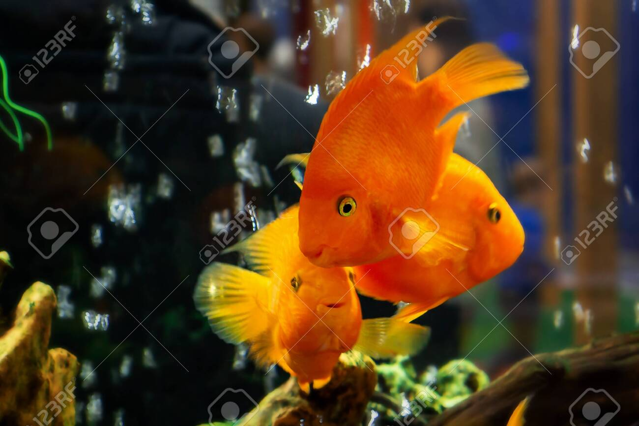 Goldfish swim in a large aquarium with green plants and air bubbles - 121881474