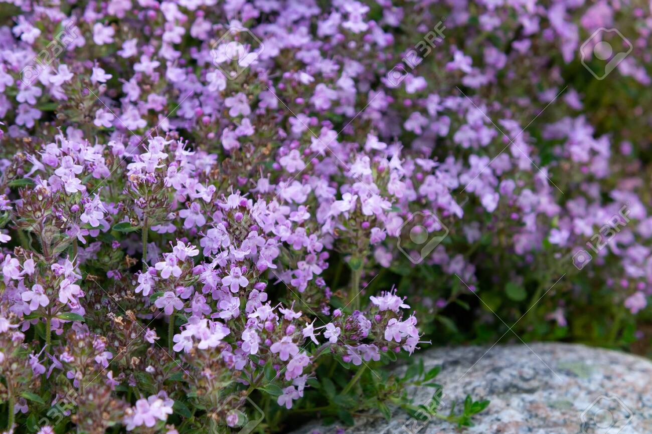 Groundcover Blooming Purple Flowers Thyme Creeping On A Bed In