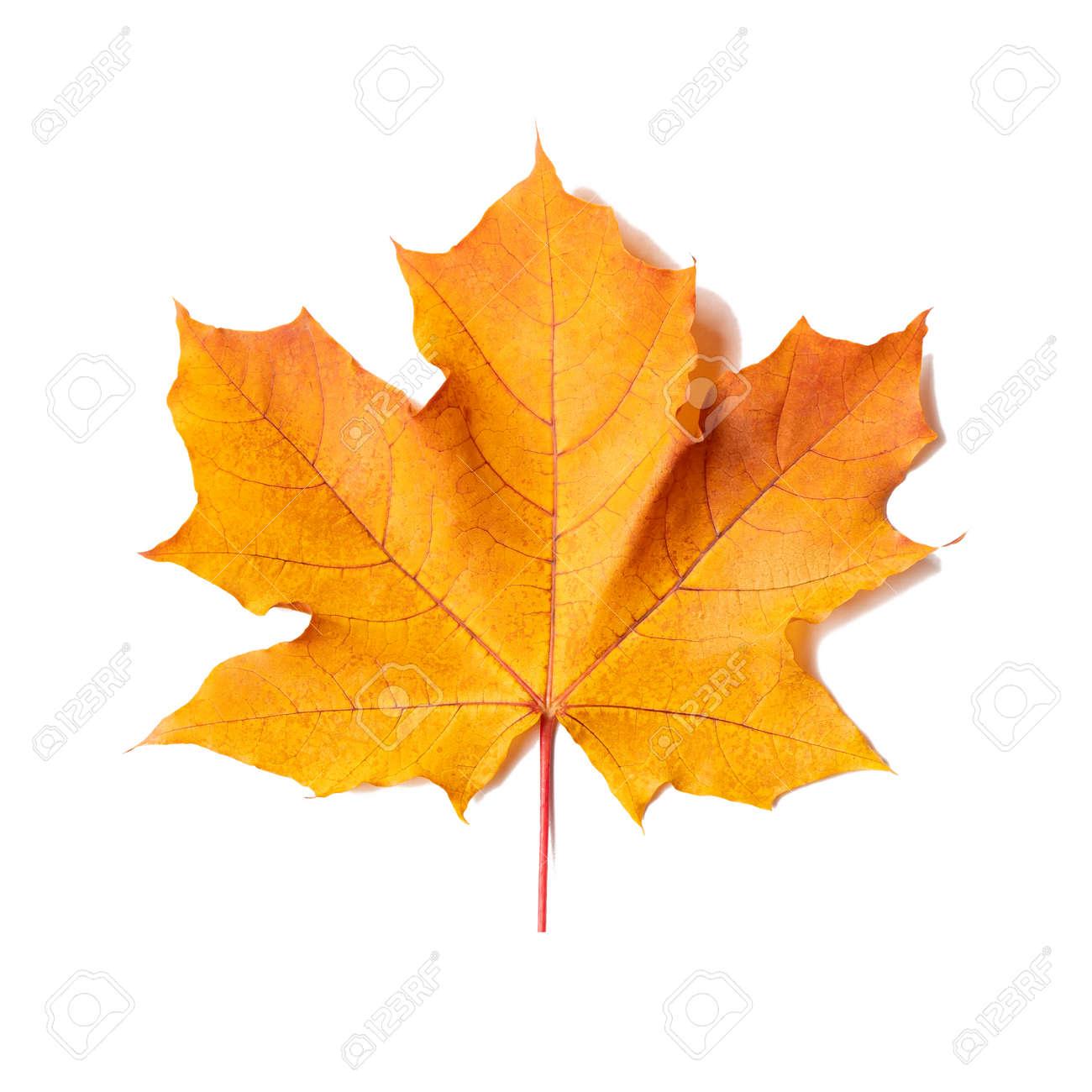 Yellow-orange maple leaf isolated on white background - 170577199