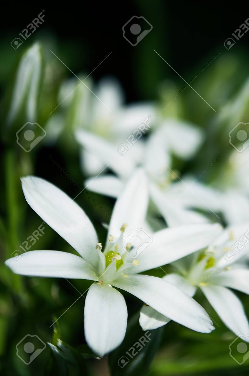 Ornitohalum small white spring flower close up shot outdoors stock ornitohalum small white spring flower close up shot outdoors stock photo 72951306 mightylinksfo