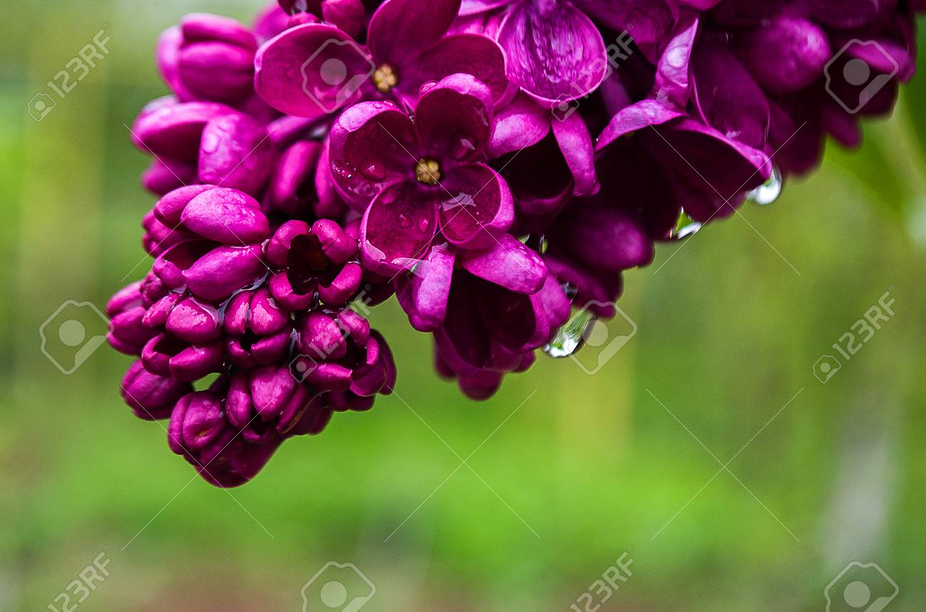 Fragrant Lilac Flowers Bloom In Spring Outdoors In Spring Day Stock