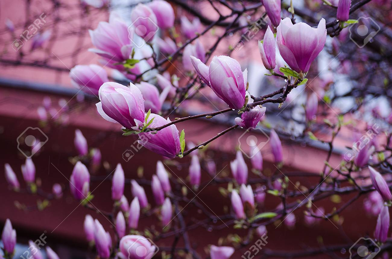 Large And Delicate Flowers Magnolia Bloom Outdoors In Spring Stock