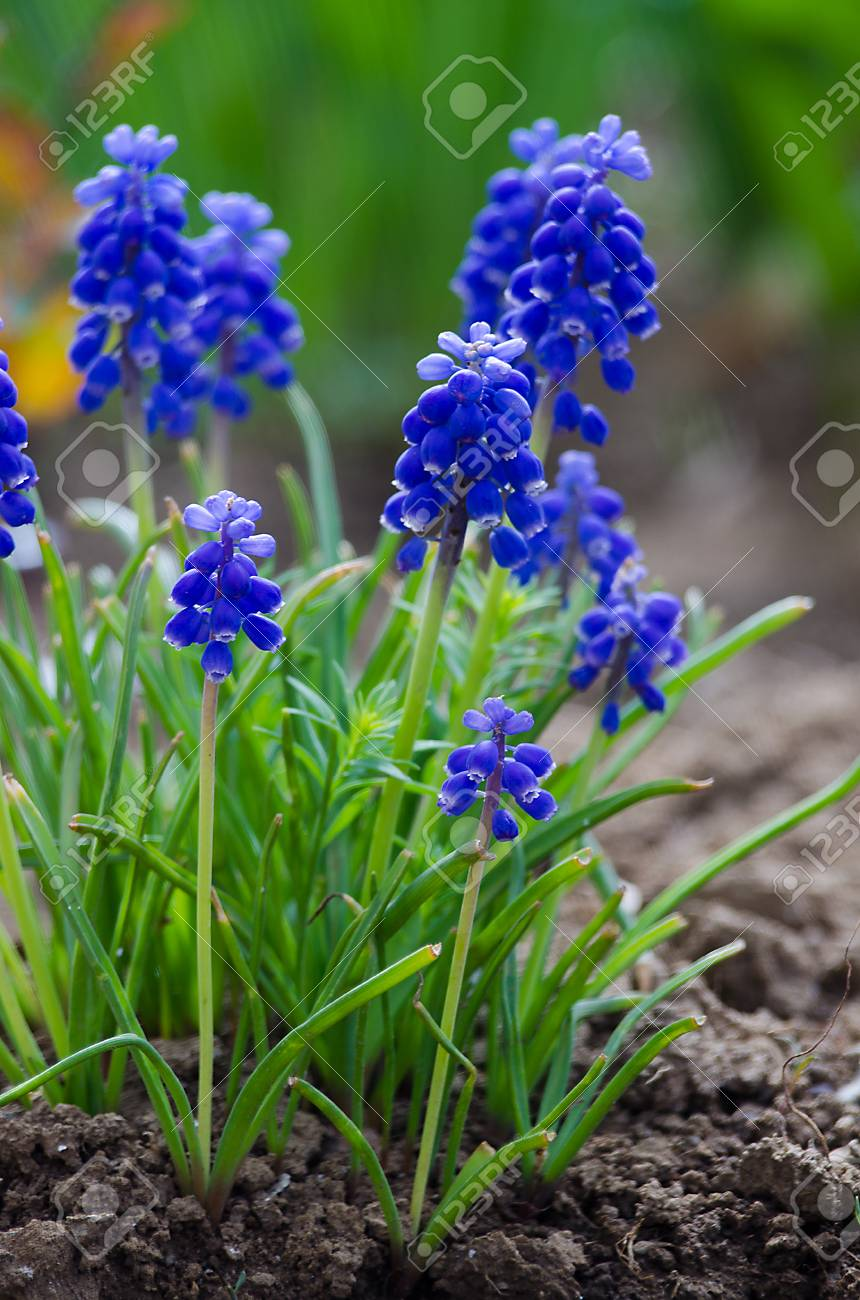 Small Blue Flowers Bloom In Spring Muskari Outdoors Stock Photo