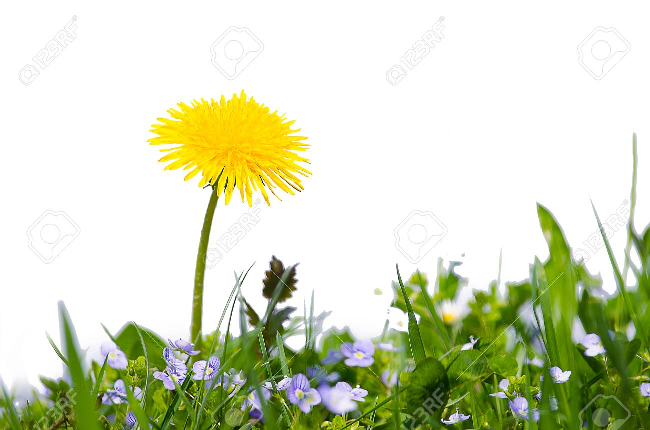 Yellow Little Flowers Dandelions Grow Outdoors In The Spring Stock