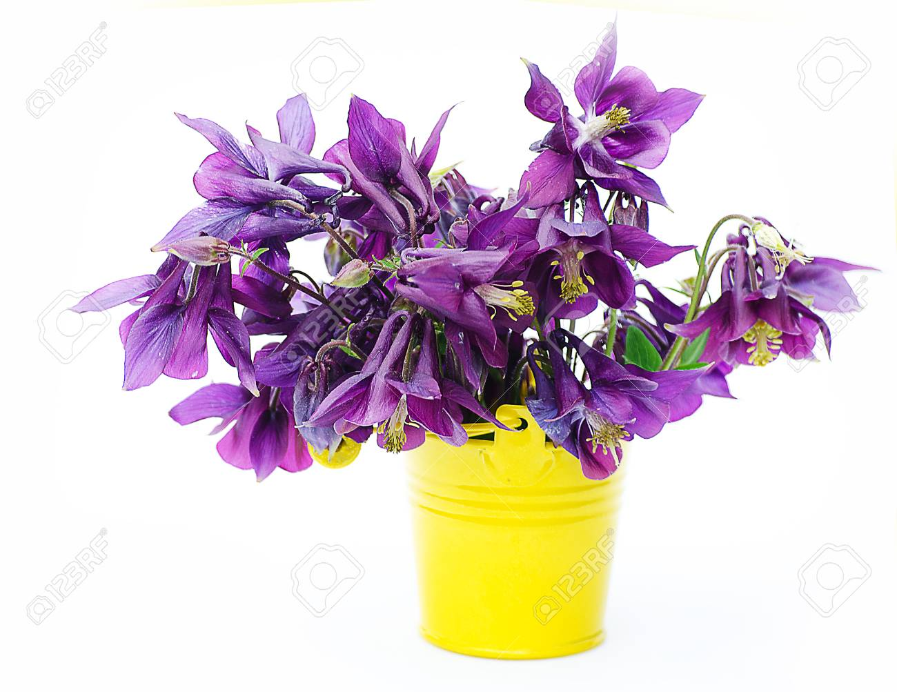 Good high columbine flowers spring outdoor growing stock photo good high columbine flowers spring outdoor growing stock photo 79020964 izmirmasajfo