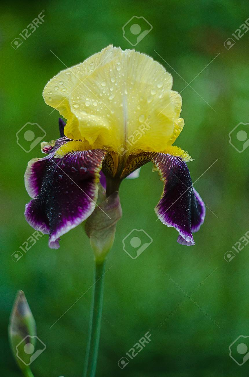 Tall And Big Flowers Irises Outdoors Or On A White Background Stock