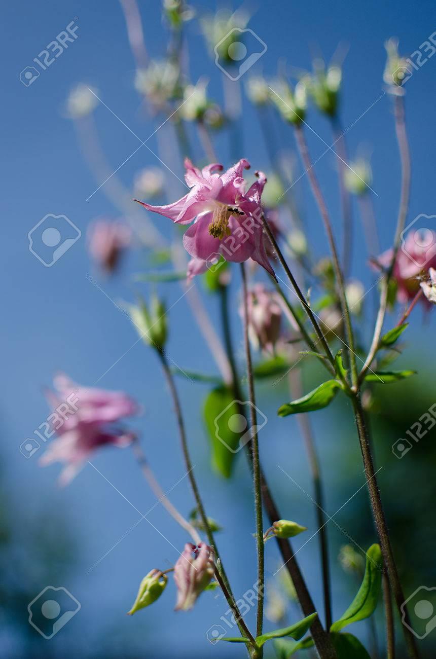 Gute Hohe Columbine Blumen Fruhjahr Im Freien Wachsen Lizenzfreie