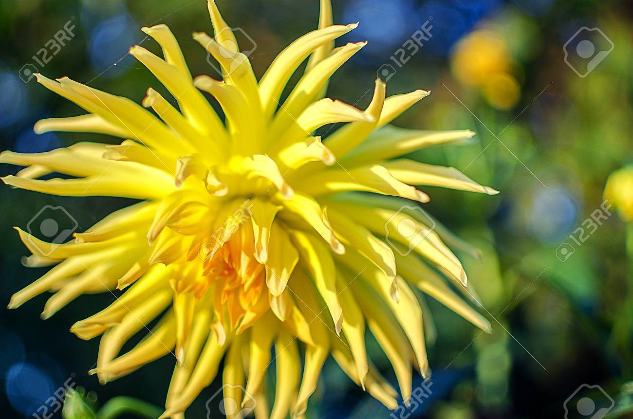 Large and beautiful daisy flowers grow in the fall stock photo large and beautiful daisy flowers grow in the fall stock photo 88135404 izmirmasajfo