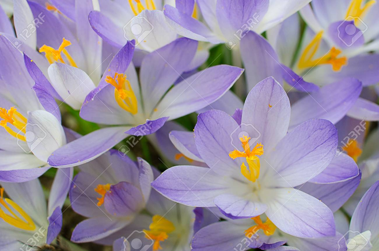 Photo Close Small Spring Flowers Crocuses They Can Be White