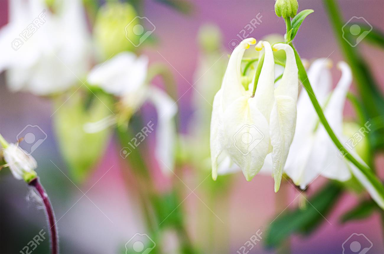 Good high columbine flowers spring outdoor growing stock photo good high columbine flowers spring outdoor growing stock photo 102898294 izmirmasajfo