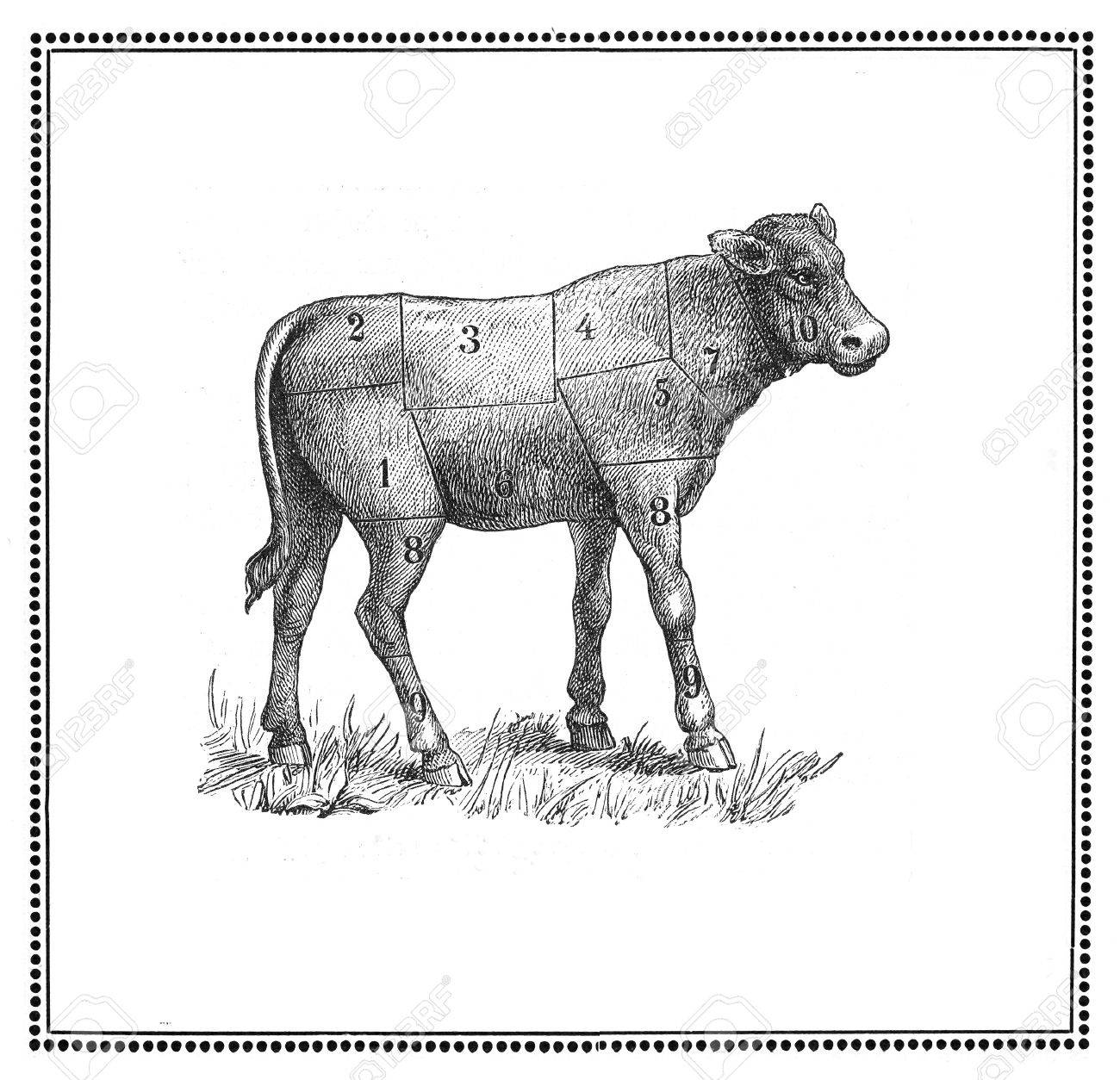An old calf  chart with numbered cuts  My elaboration from an engravings of  Sueddeutsche Kueche  by Katharina Prato  - Verlagbuchhandlung Styria, 1913, author unidentified Stock Photo - 14329056