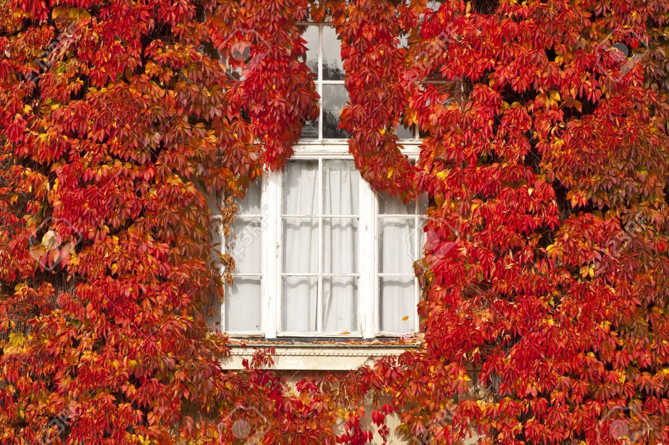 Autumn Red Ivy Leaves Cover Completely The Outside Wall Framing ...