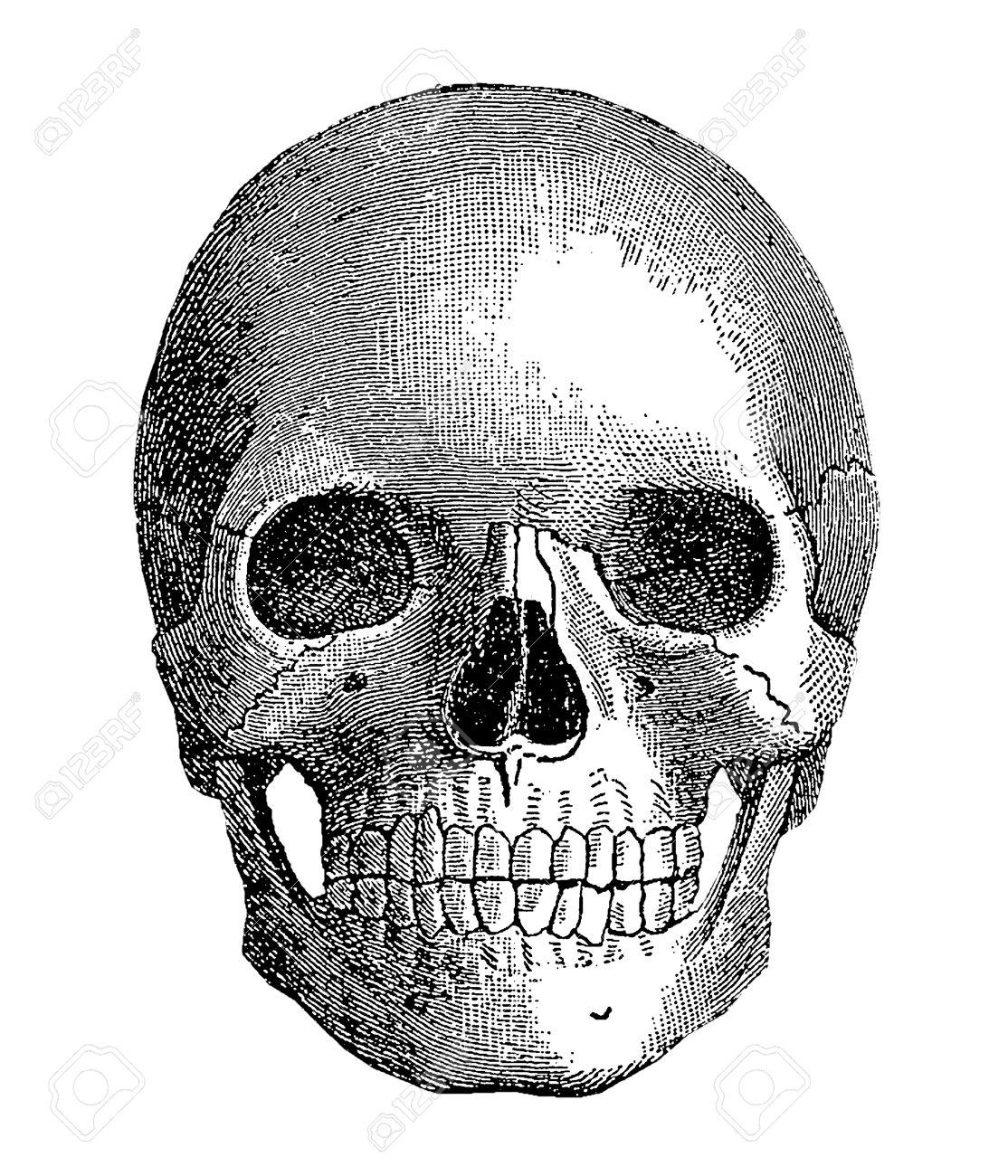 Anatomy - Menschlicher Schädel, Vintage-Gravur Lizenzfreie Fotos ...