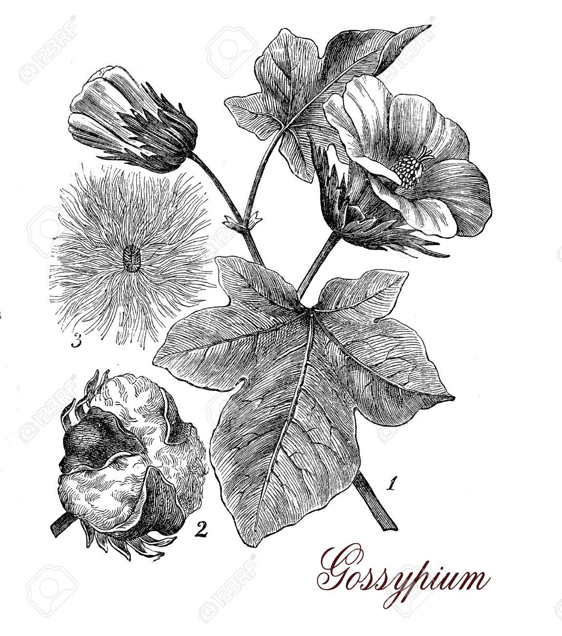 De Impresión Describiendo Planta De Algodón De La Vendimia ...