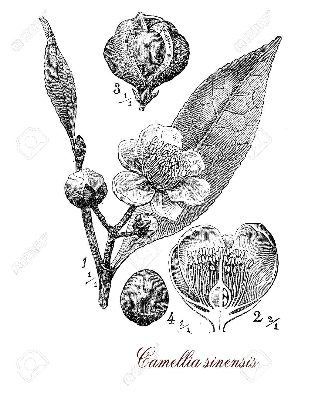 Vintage print describing Camellia sinensis or Camellia flowering plant botanical morphology:leaves are used to produce tea, plant originates from Asia and is cultivated in tropical and subtropical areas.Flowers are yellow-white with 7-8 petals, seeds are Stock Photo - 55432911
