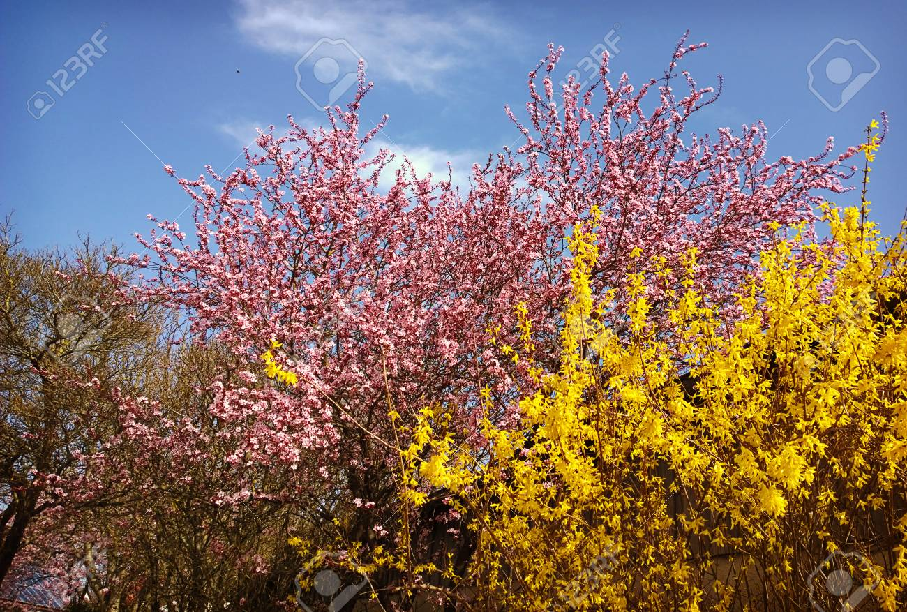 Spring Texture Yellow Blooming Forsythia And Pink Cherry Tree