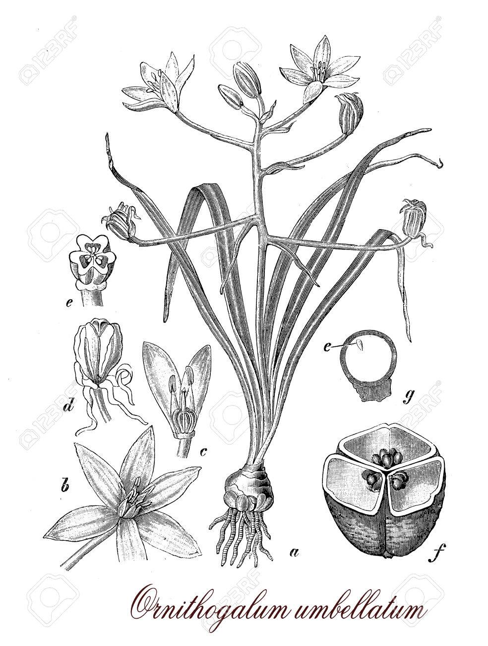 Ornithogalum Umbellatum Or Garden Star Of Bethlehem Is A Perennial