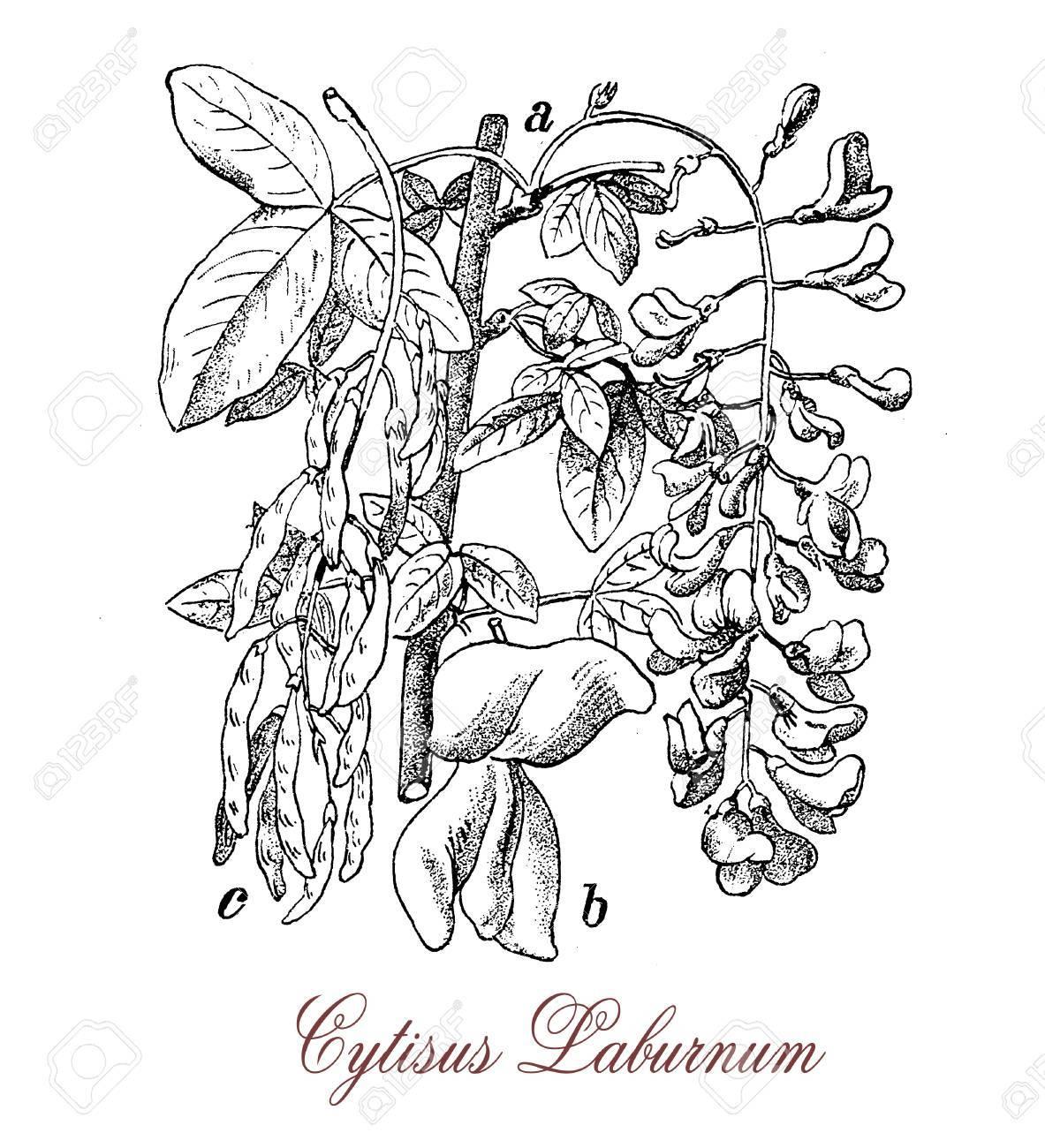 Cytise Commun Ou La Pluie D Or Est Un Arbre D Ornement A Pois Comme