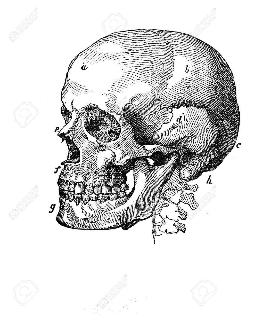 Menschlicher Schädel Profil Anatomie, Gravieren XIX Jahrhundert ...