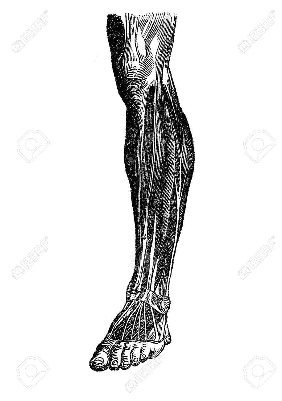 Anatomie, Menschliche Muskulatur; Fuß, Schaft, Knie Lizenzfreie ...