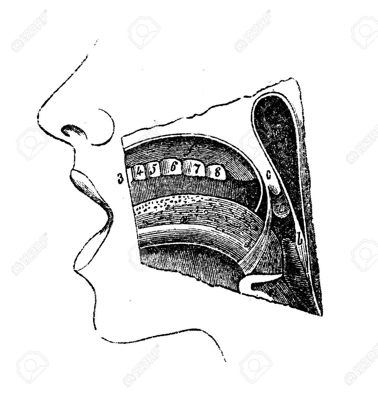 Mesa De La Anatomía Humana, La Cavidad Oral Grabado Del Siglo XIX ...