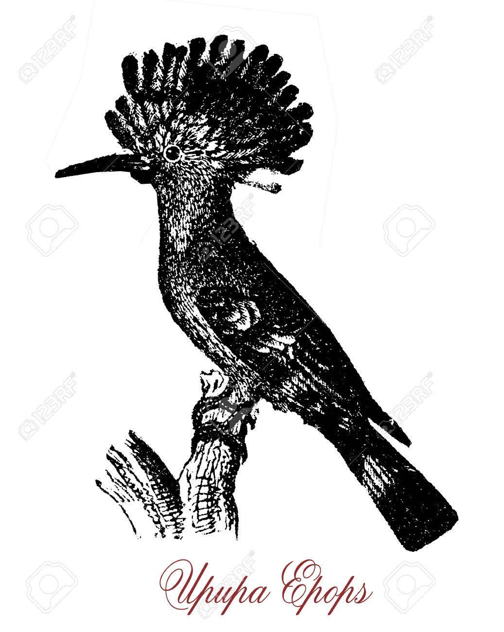 ヤツガシラは熱帯鳥の羽の冠をア...