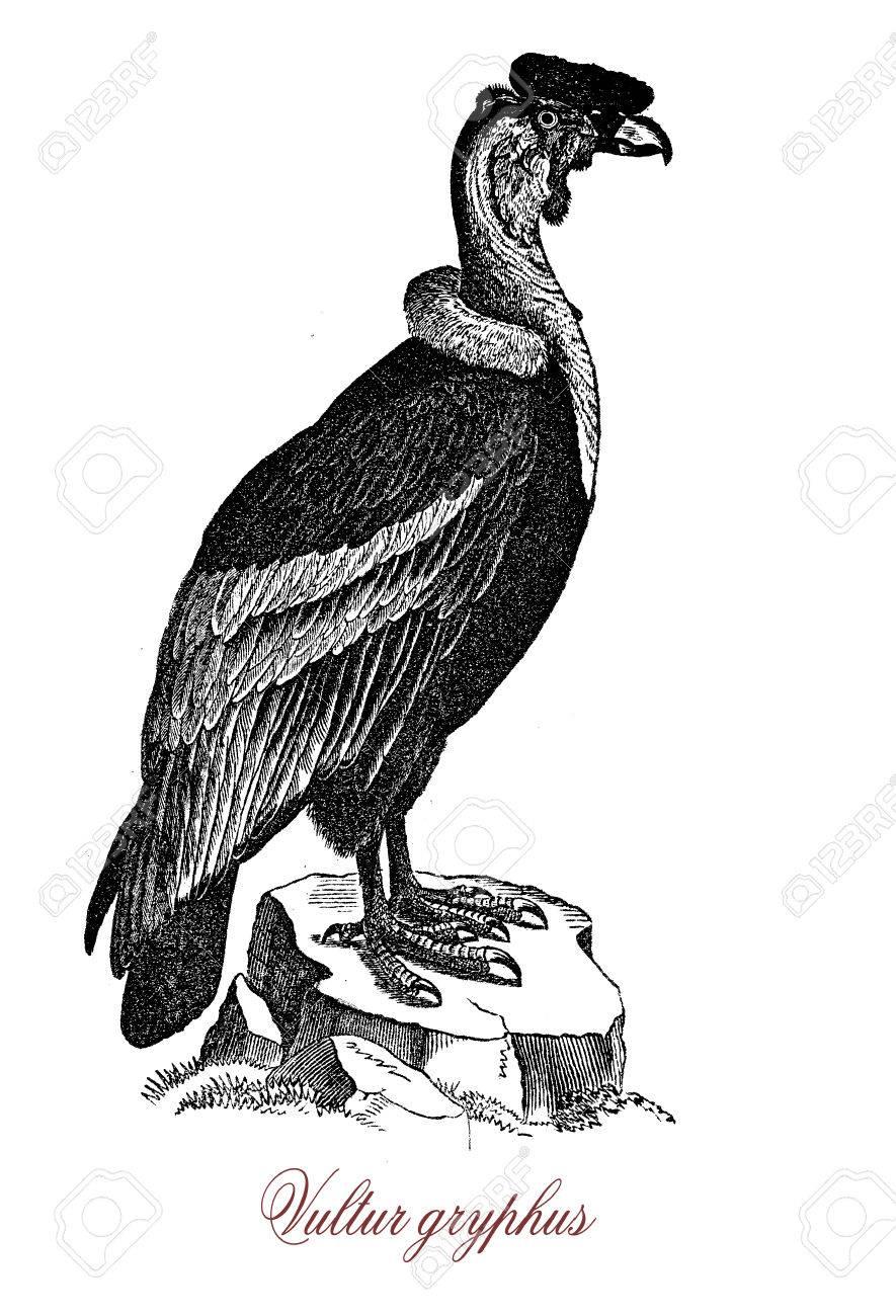 Kondor Ein Südamerikanischer Vogel Der Geier-Familie Ist, Ist Er Der ...