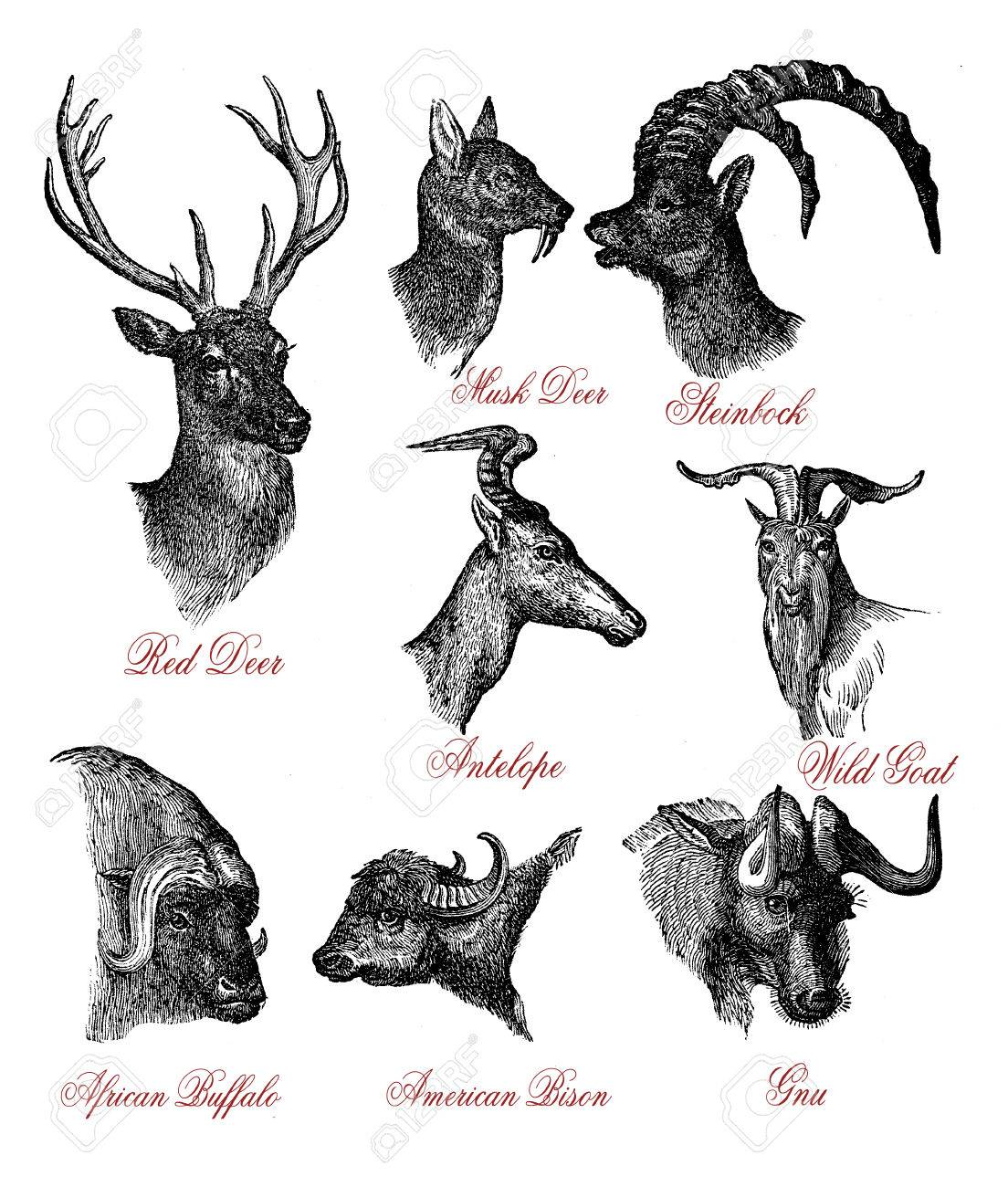 Ilustración De La Vendimia Grabado De La Fauna De Ciervos, Cabras Y ...