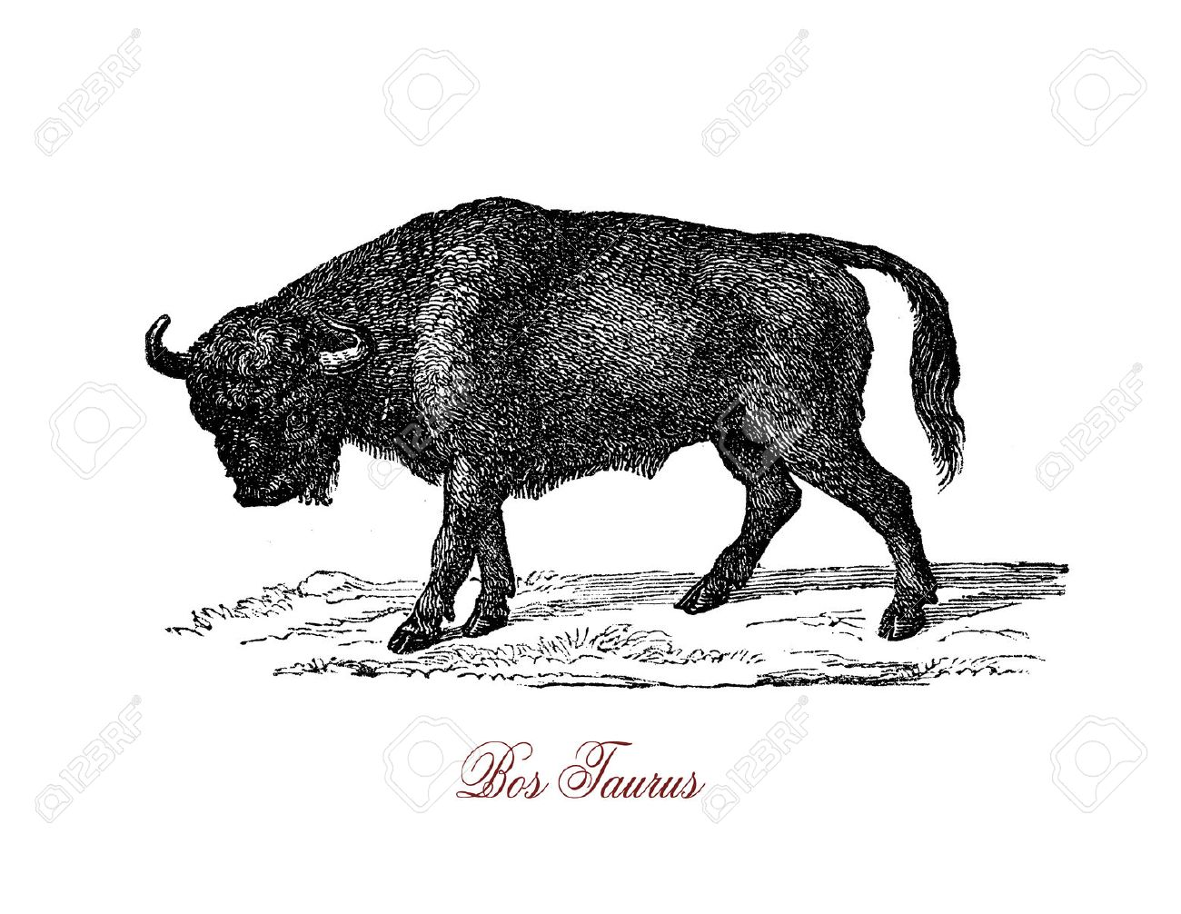Bull Ist Ein Nicht Kastrierten Männlichen Erwachsenen Kuh Aggressiv ...