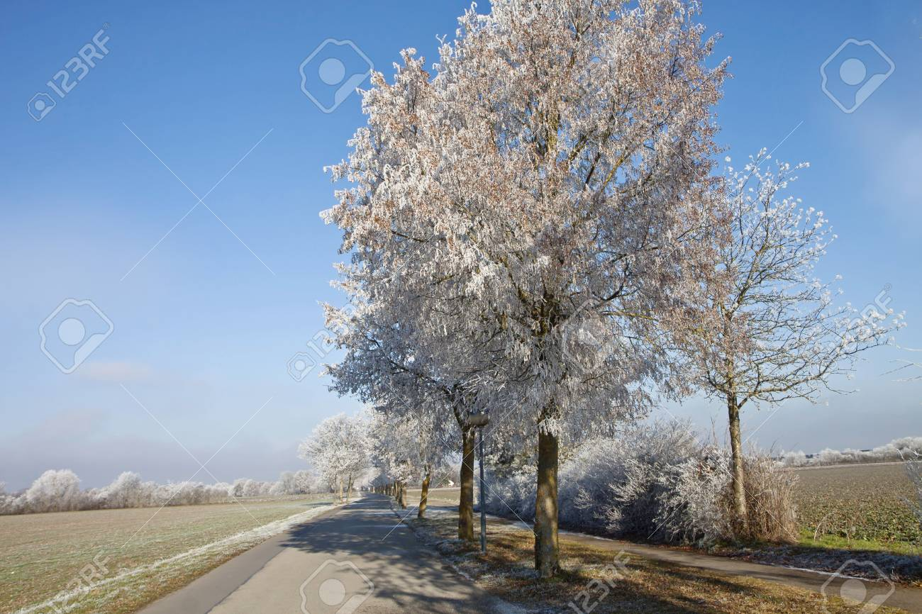 Bavarian winter landscape, beautiful view of rural alley flanked by frosted trees against blue sky Stock Photo - 71187410
