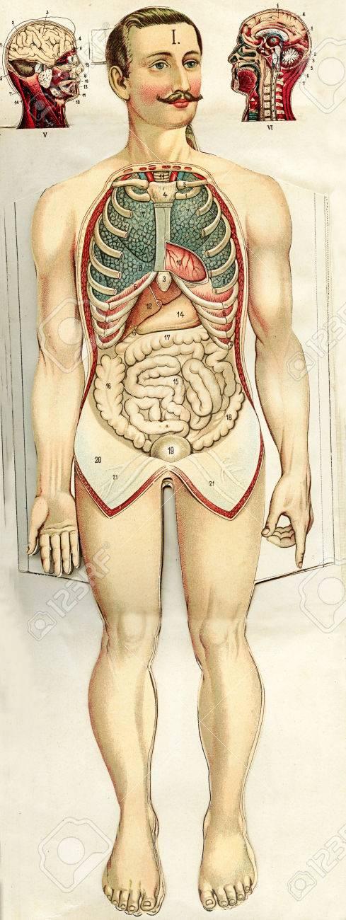 Ziemlich Ziehen Die Menschliche Anatomie Bilder - Anatomie von ...