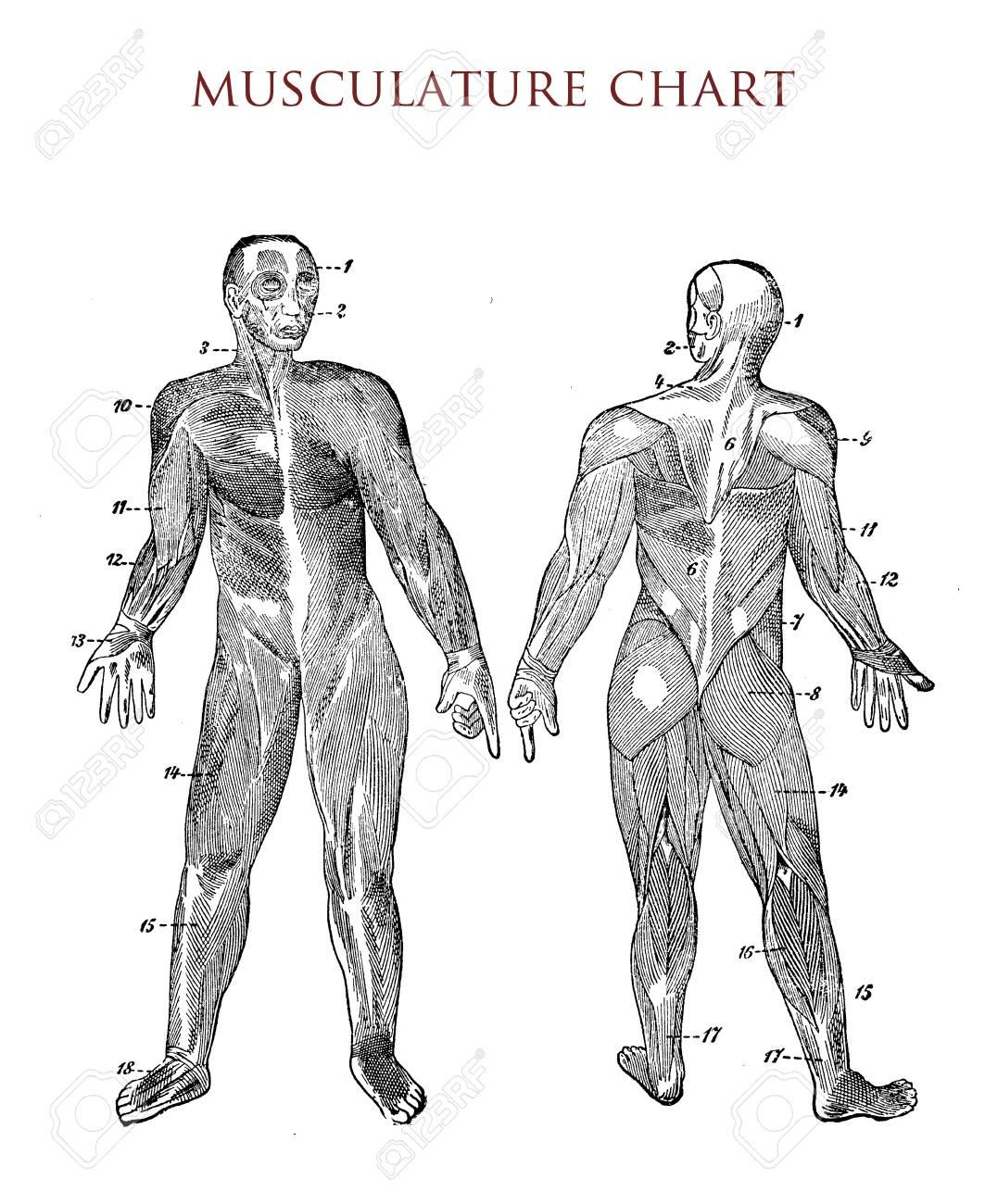 Cuerpo Humano: Gráfico De Músculo, Ilustración Vintage Fotos ...