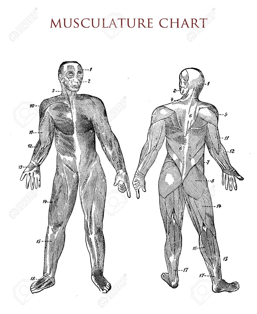 Human Body Muscle Chart Vintage Illustration Stock Photo Picture