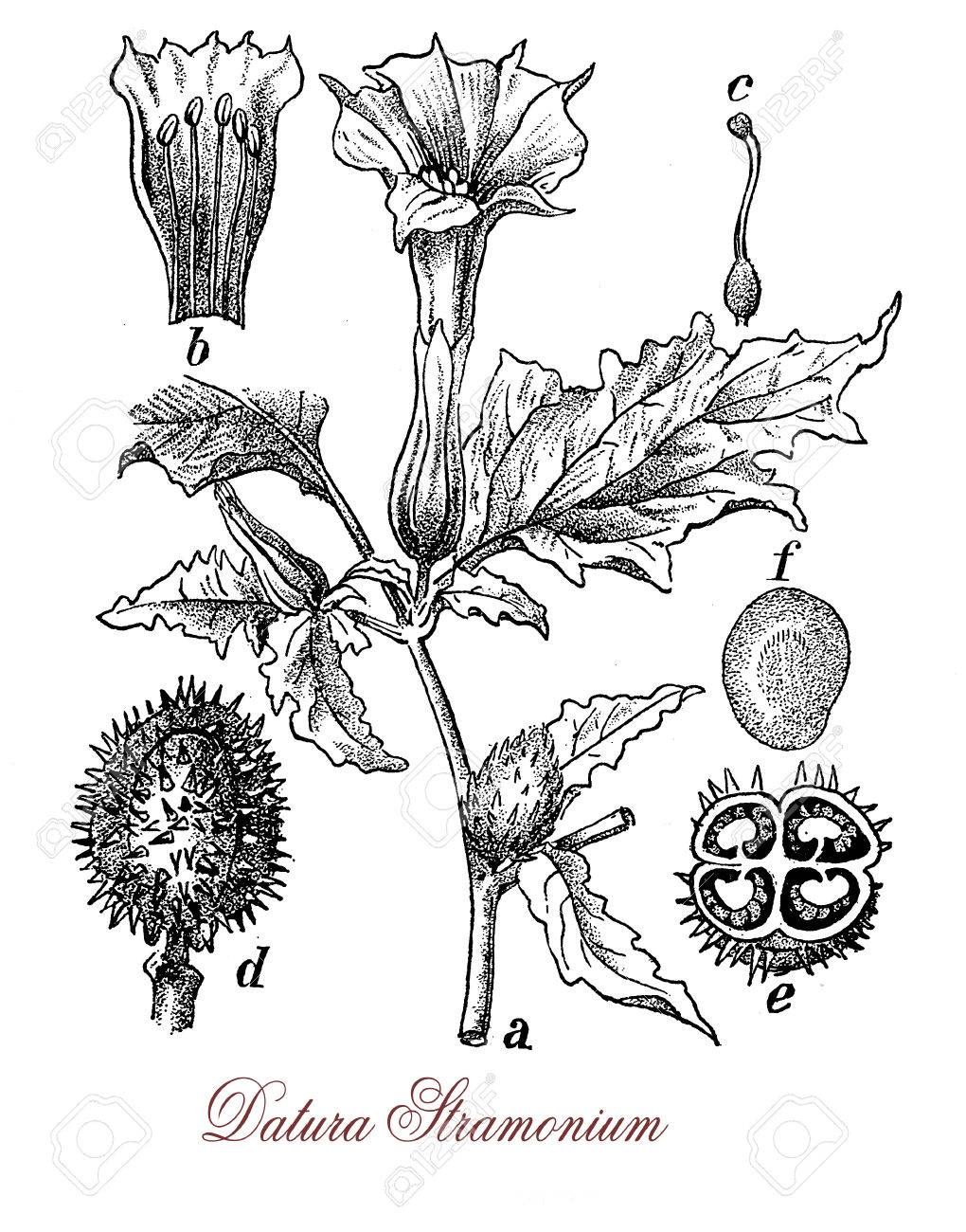 Vintage Illustration Of Datura Stramonium With Trumpet Shaped