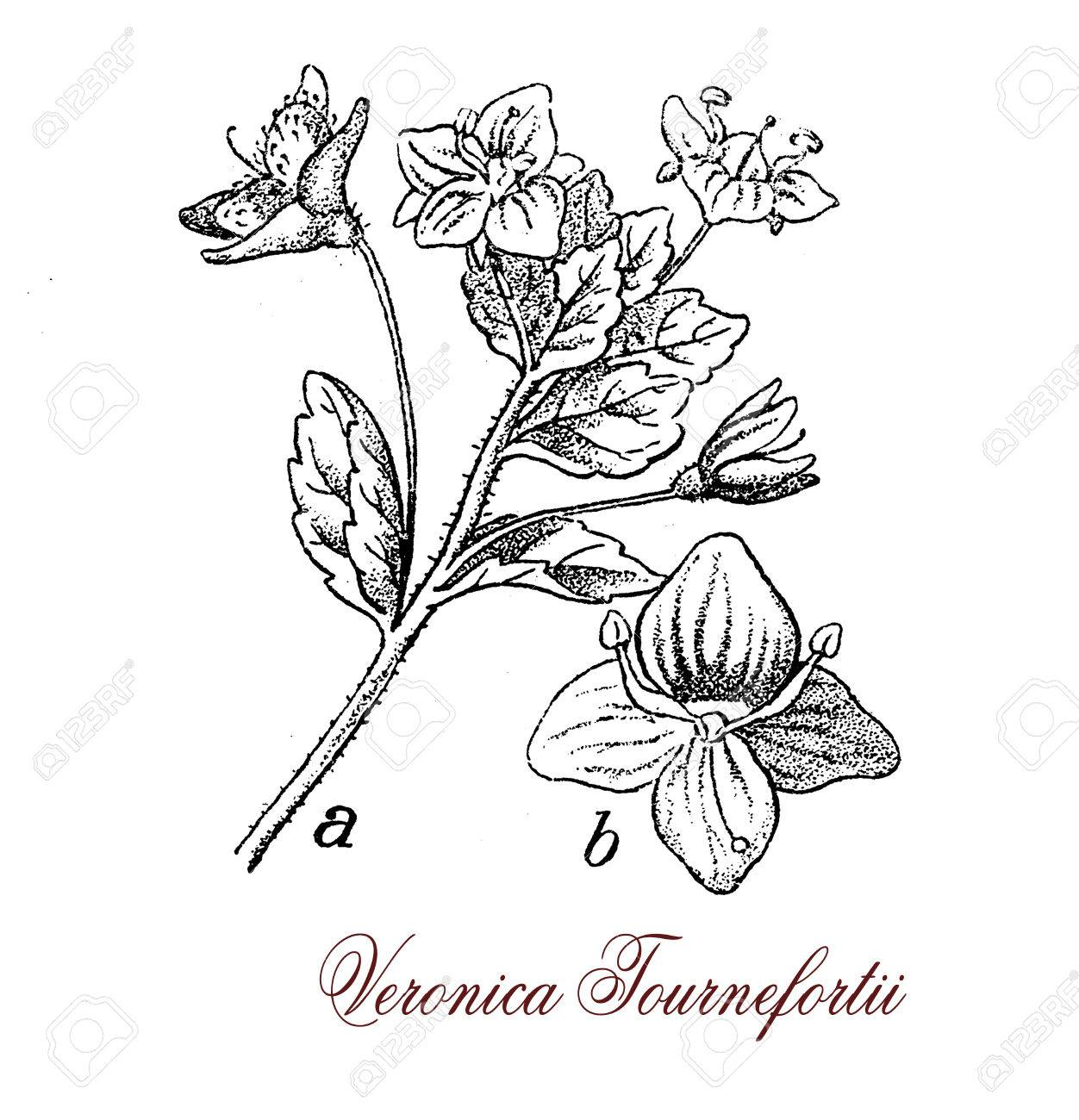 Veronica persica flowering plant with small sky blue flowers stock photo veronica persica flowering plant with small sky blue flowers with dark stripes and white centers and heart shaped fruitsvintage engraving mightylinksfo